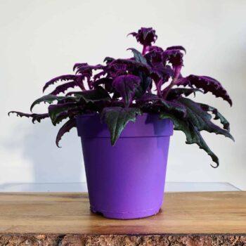 Purple passion Gynura Aurantiaca 12cm Houseplants