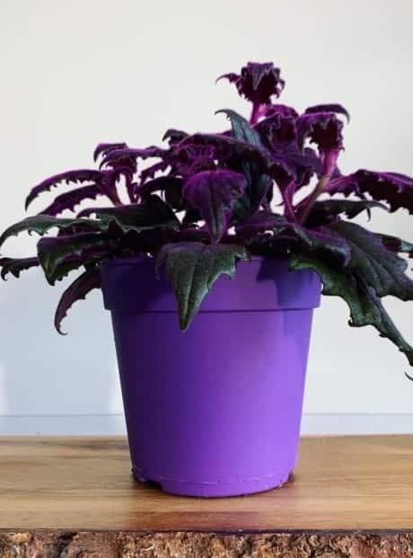 Purple passion Gynura Aurantiaca 12cm