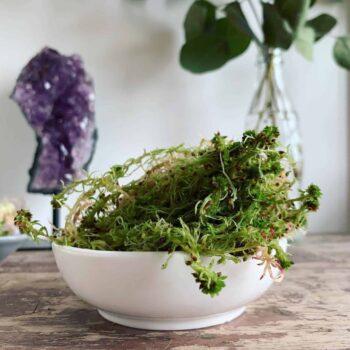 Fresh sphagnum moss in classic green/brown Fresh Moss green moss 2