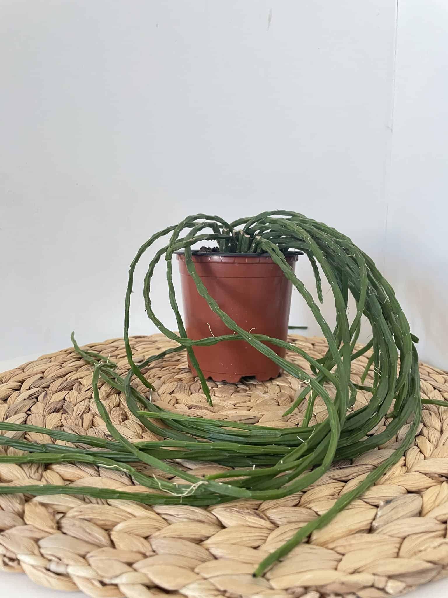 Rhipsalis Paradoxa in 9cm pot