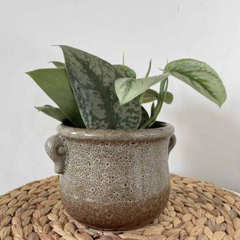 Scindapsus pictus 'Exotica' Satin Pothos 12cm pot Hanging & Trailing 12cm pot 2