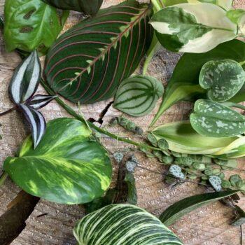 Single Mystery Cutting Box – 1 cutting from a range of beautiful plants Cuttings cuttings 2