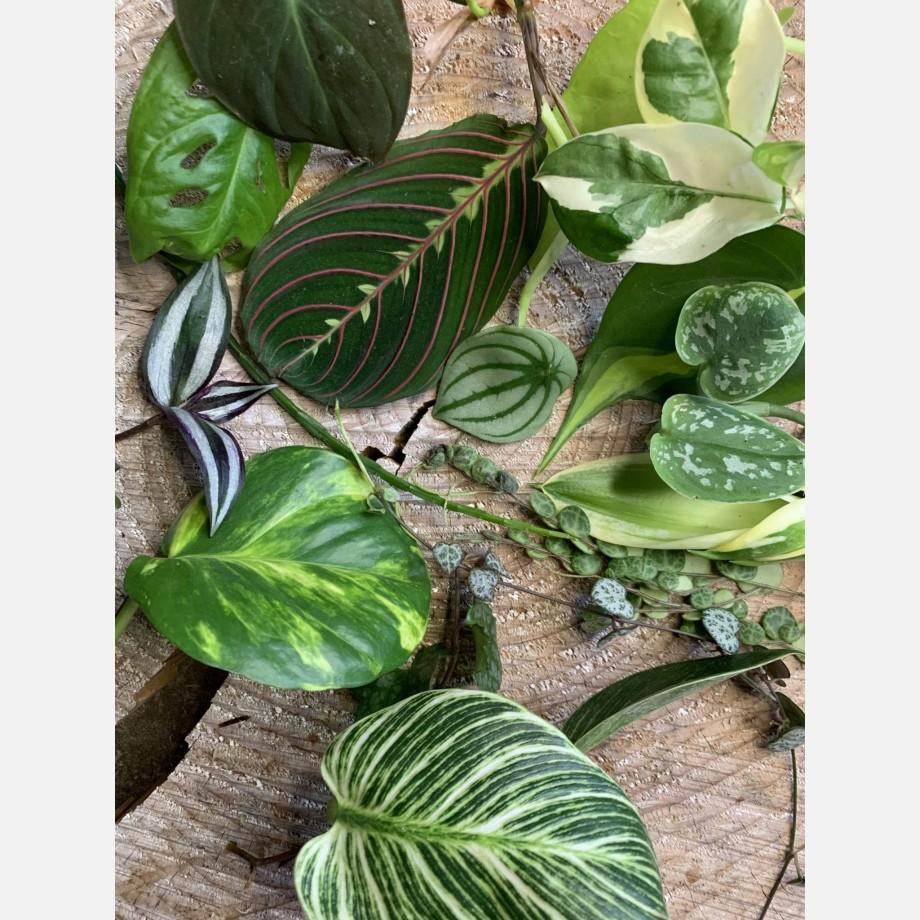 Mystery Cuttings Box – 5 cuttings from a range of beautiful plants Cuttings cuttings 2