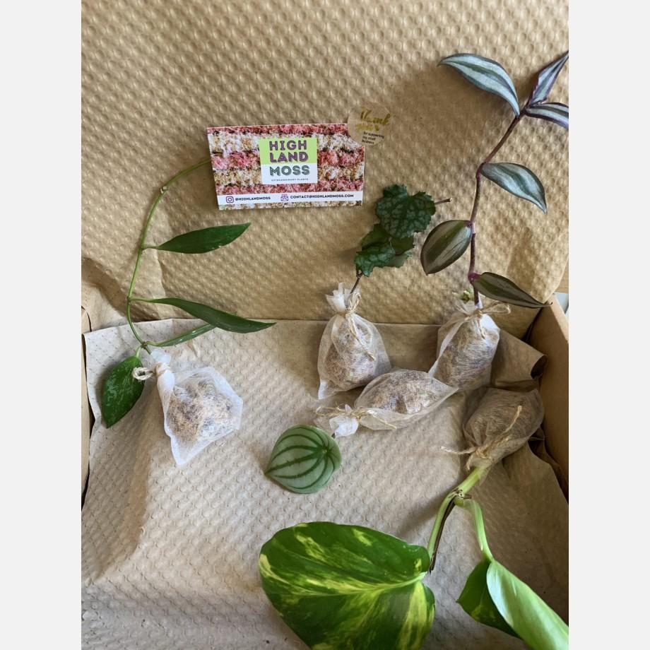 Mystery Cuttings Box – 5 cuttings from a range of beautiful plants Cuttings cuttings 4