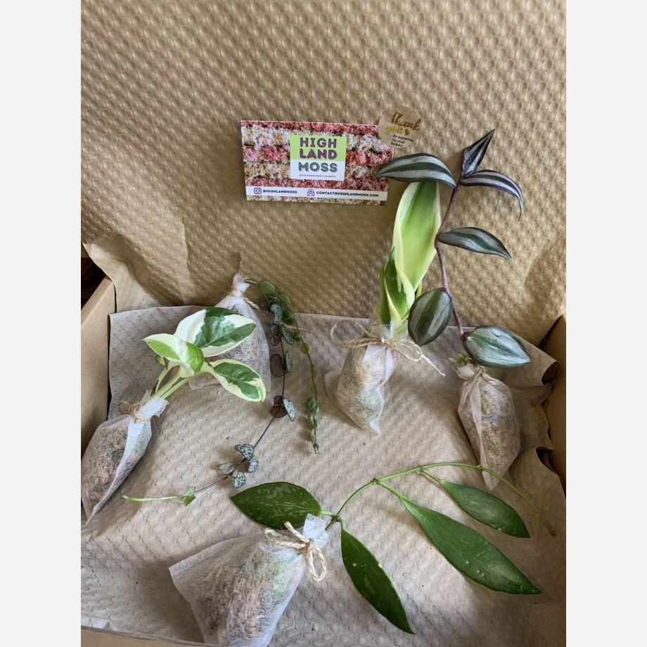 Mystery Cuttings Box – 5 cuttings from a range of beautiful plants Cuttings cuttings 3