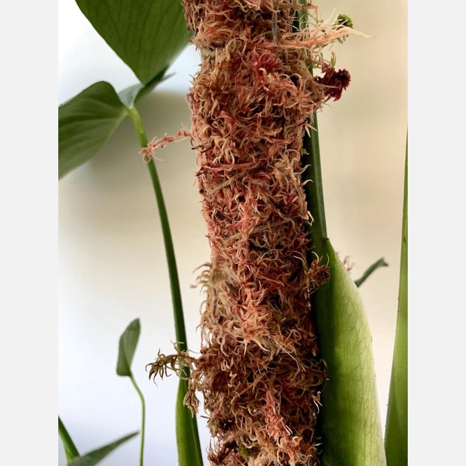 Bag fresh sphagnum moss in pink Fresh Moss 6