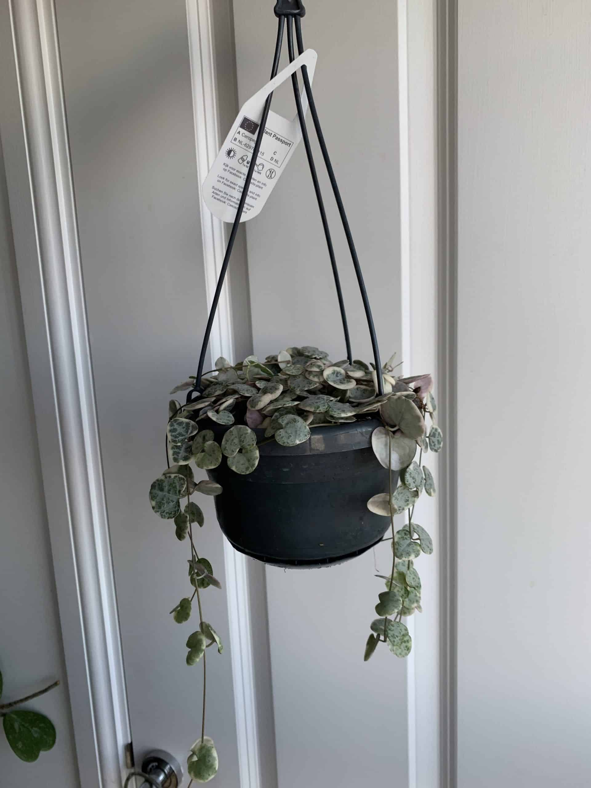 Variegated string of hearts indoor house plant | Ceropegia woodii