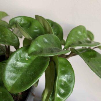 Hoya Carnosa Krinkle 8 in 15cm hanging pot Hanging & Trailing
