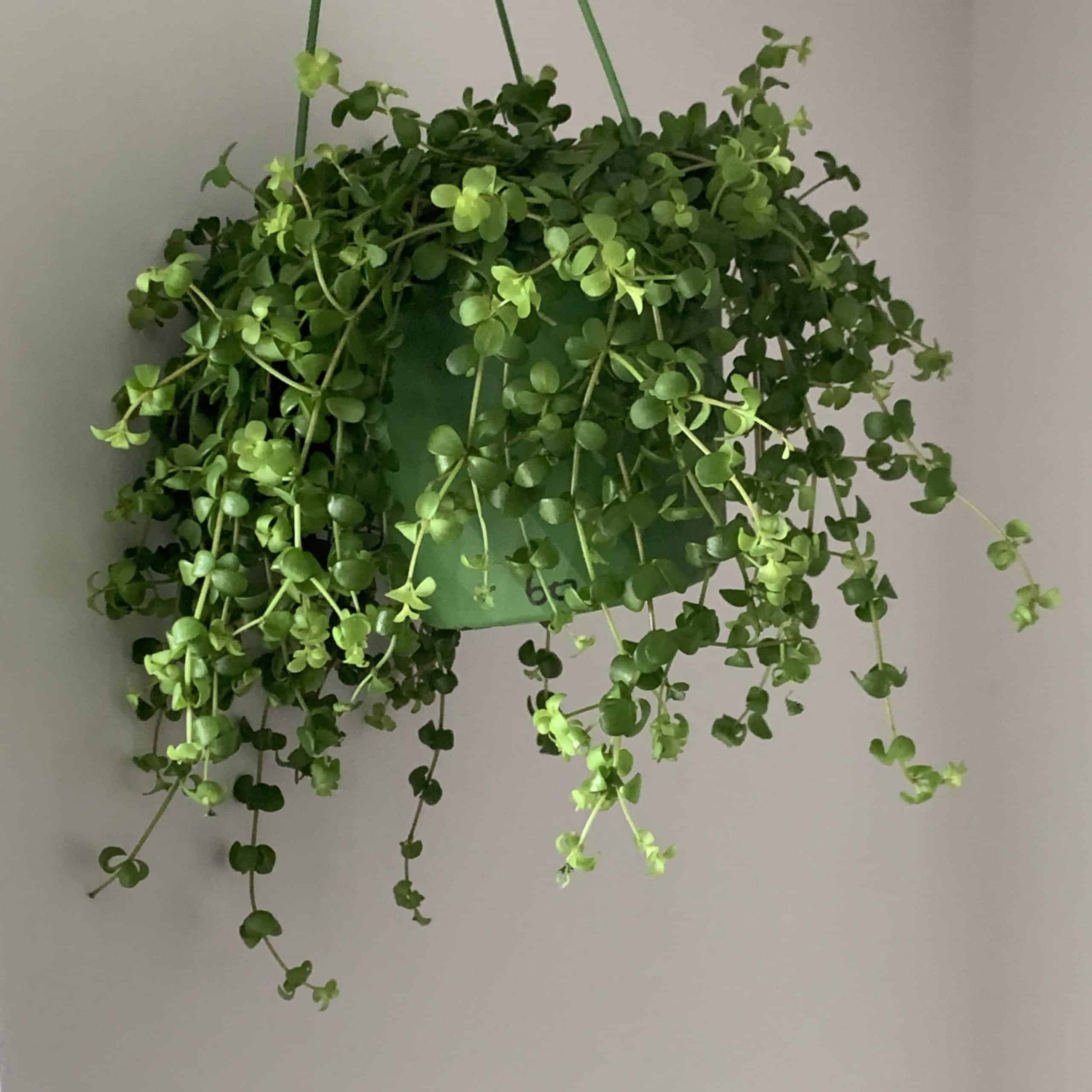 Peperomia Isabelle in 14cm Hanging Pot