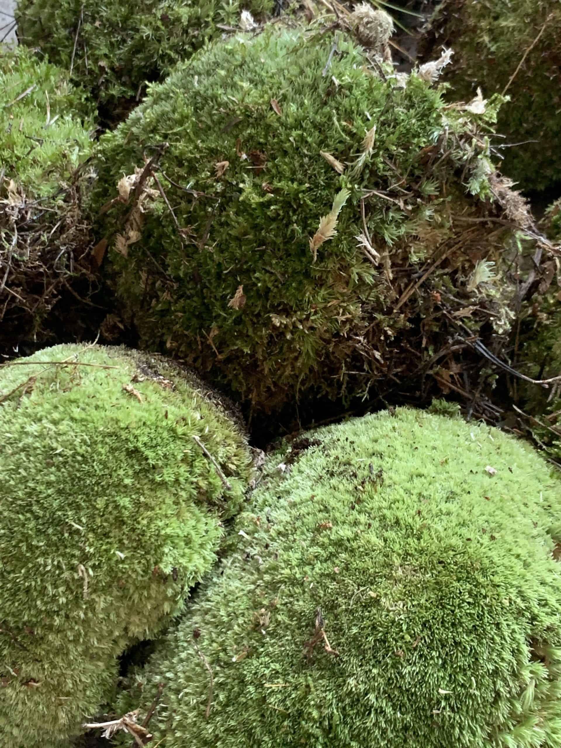 Fresh live cushion bun moss