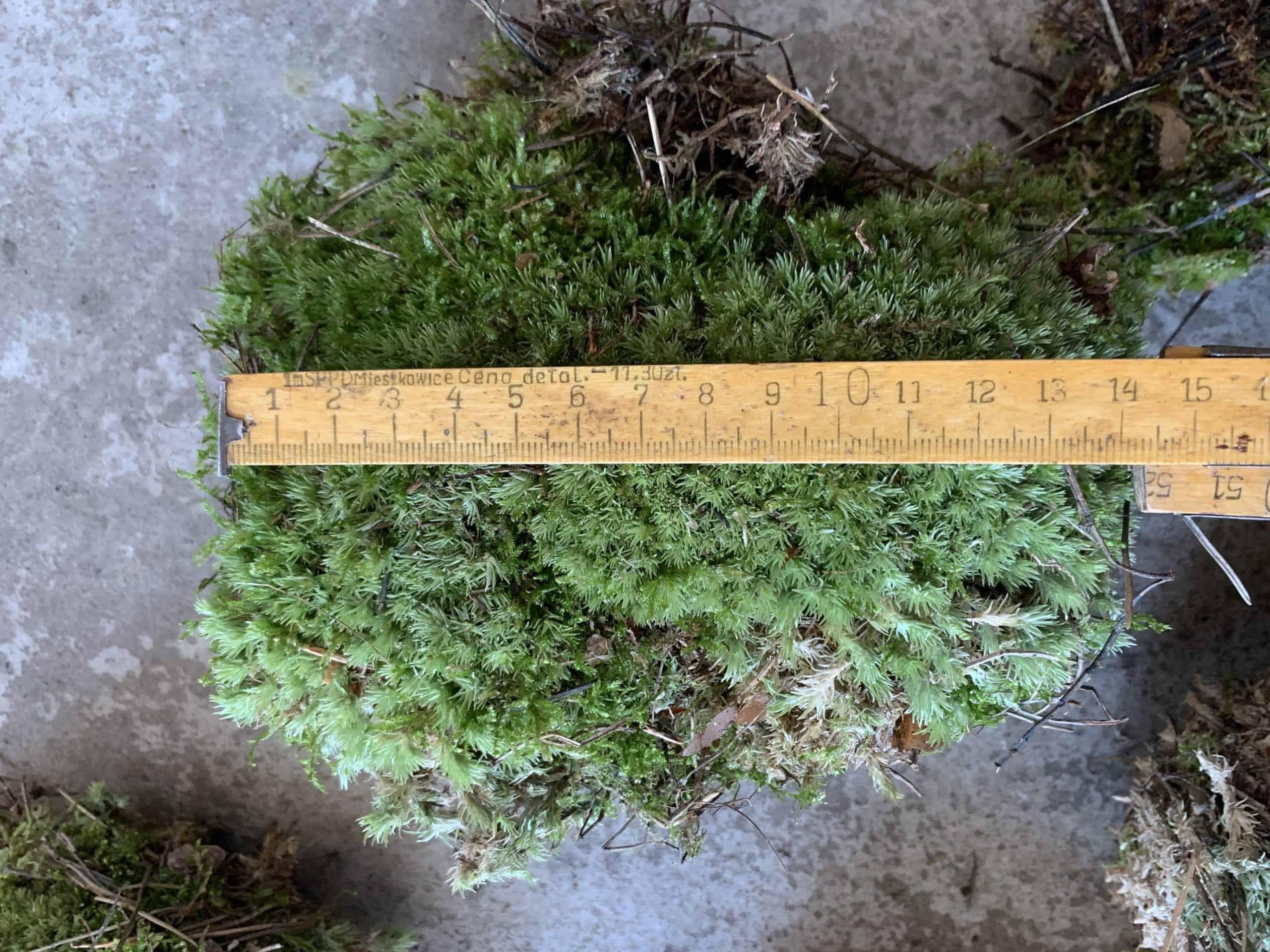 Fresh live bun moss - Large