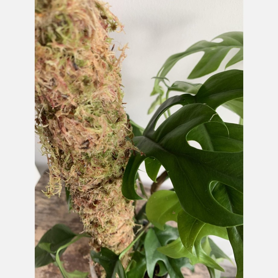 CLASSIC brown/green Moss Pole Made with Moss 5