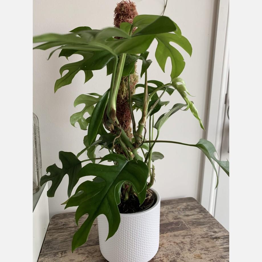 Monstera Minima 14cm pot alone or with moss pole