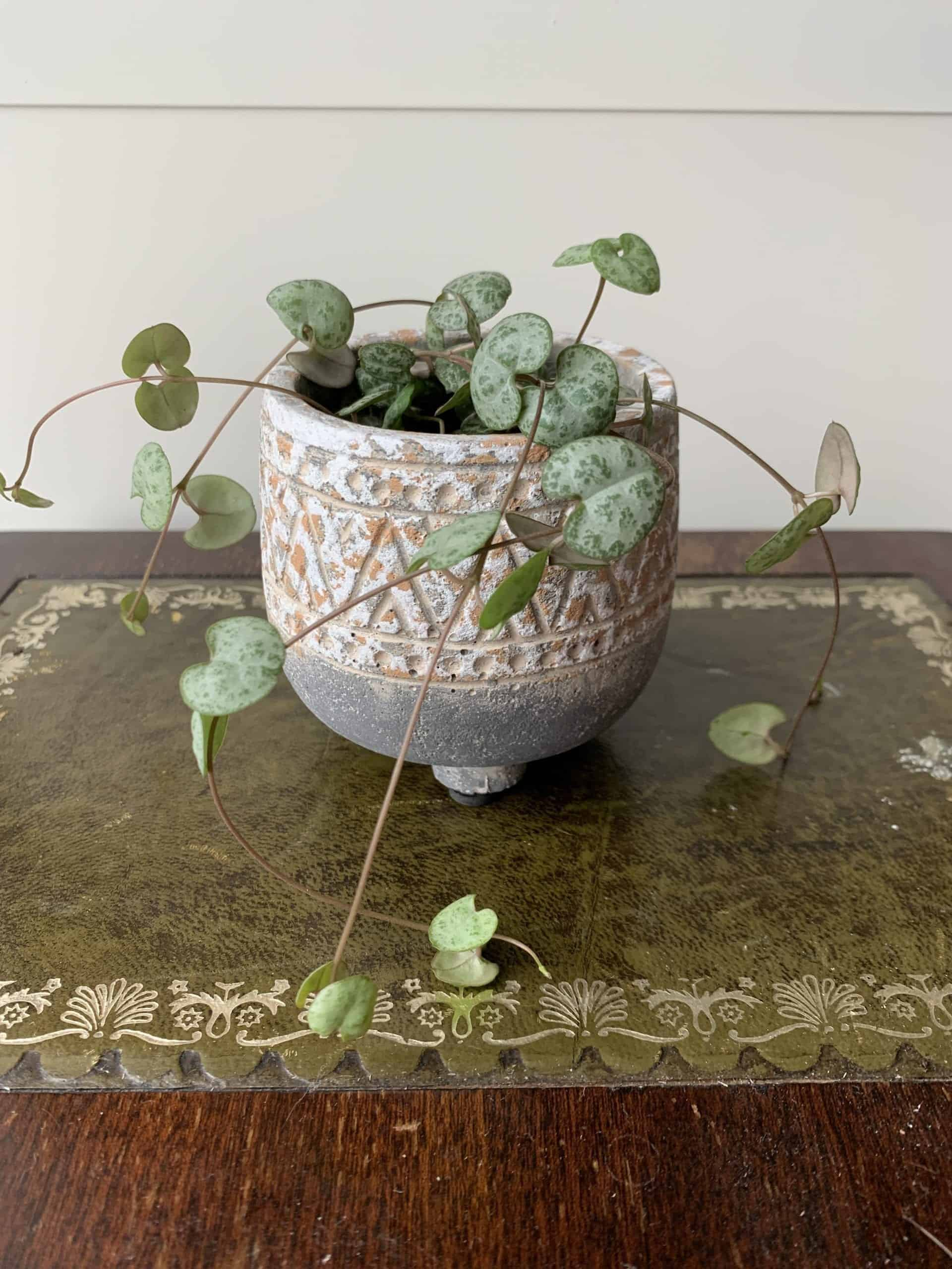 String of hearts in planter 6cm   Ceropegia woodii - Rustic Round Planter