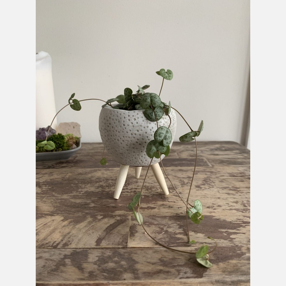 String of hearts in planter 6cm   Ceropegia woodii