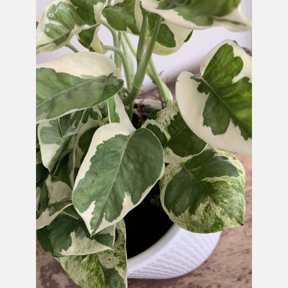 Epipremnum aureum N'Joy 12cm pot