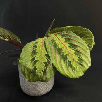 Prayer plant Maranta leuconeura Fascinator 12cm pot Houseplants 12cm plant
