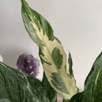 Spathiphyllum Diamond – Variegated Peace Lily – 14cm pot Houseplants