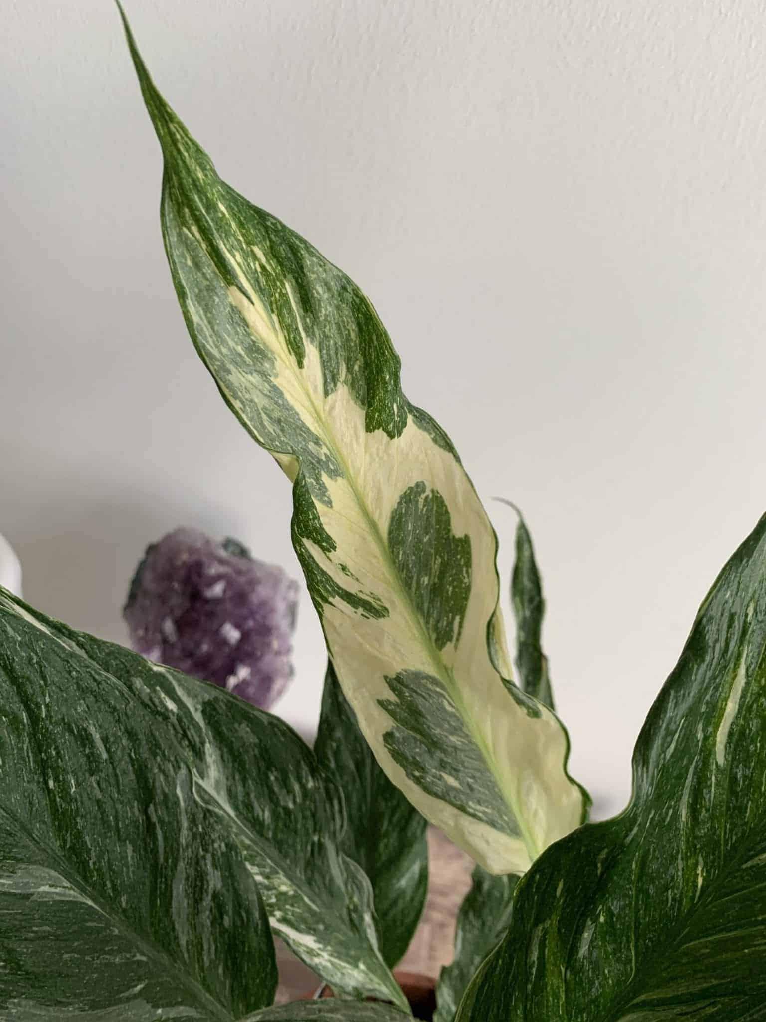 Spathiphyllum Diamond - Variegated Peace Lily - 14cm pot