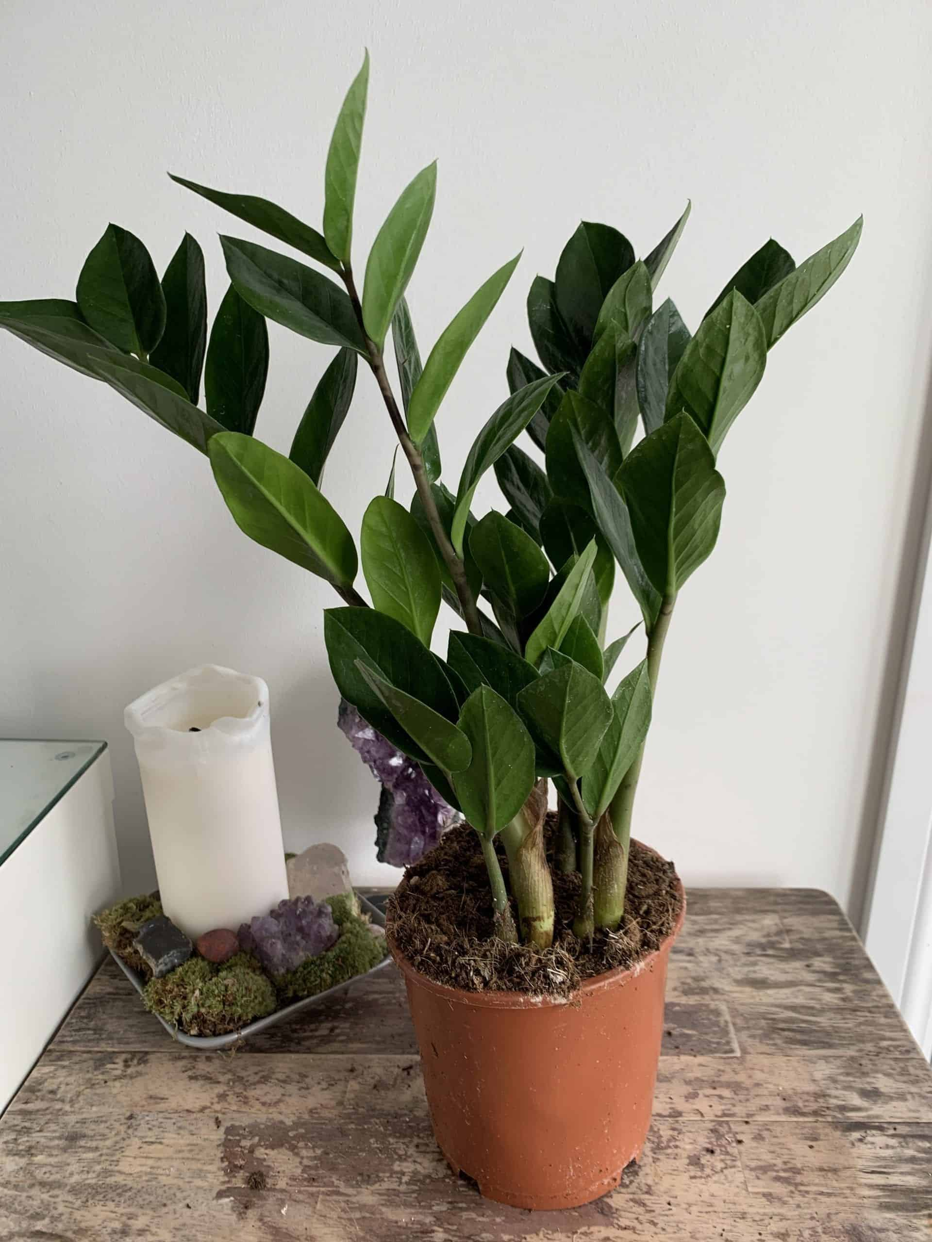 ZZ Emerald Palm | 14cm pot | Zamioculcas zamiifolia
