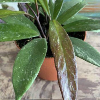 Hoya Pubicalyx | houseplant in 12cm pot | Thin speckled leaves Houseplants 12cm pot 2