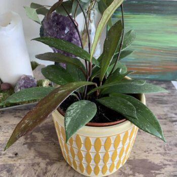 Hoya Pubicalyx | houseplant in 12cm pot | Thin speckled leaves Houseplants 12cm pot