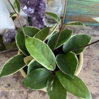 Hoya Krimson Queen | House wax plant in 12cm pot | Variegated cream leaves Houseplants 12cm pot