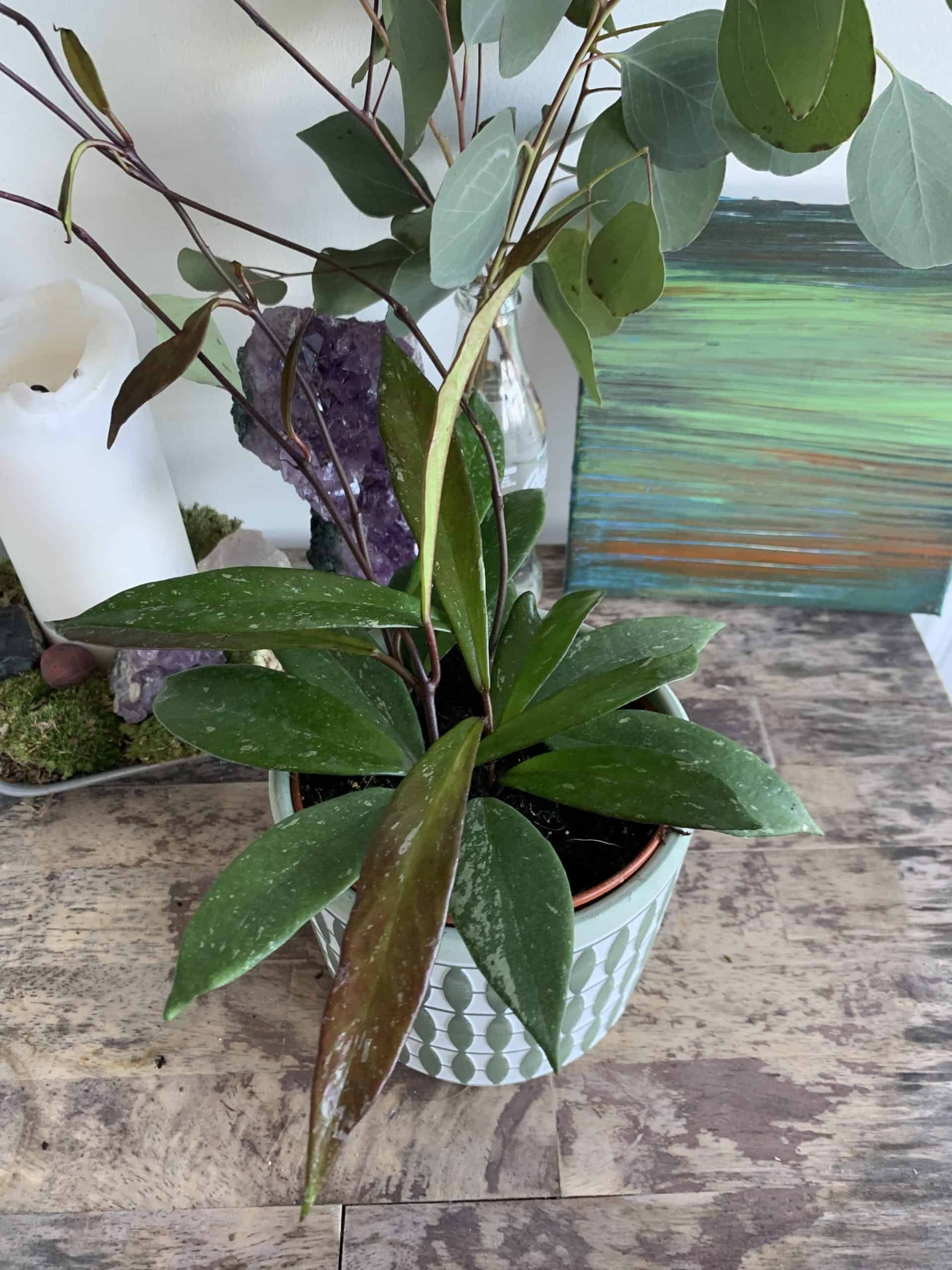 Hoya Pubicalyx   houseplant in 12cm pot   Thin speckled leaves