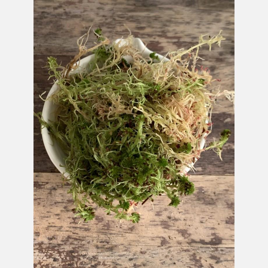 Fresh sphagnum moss in classic green/brown Fresh Moss green moss 4