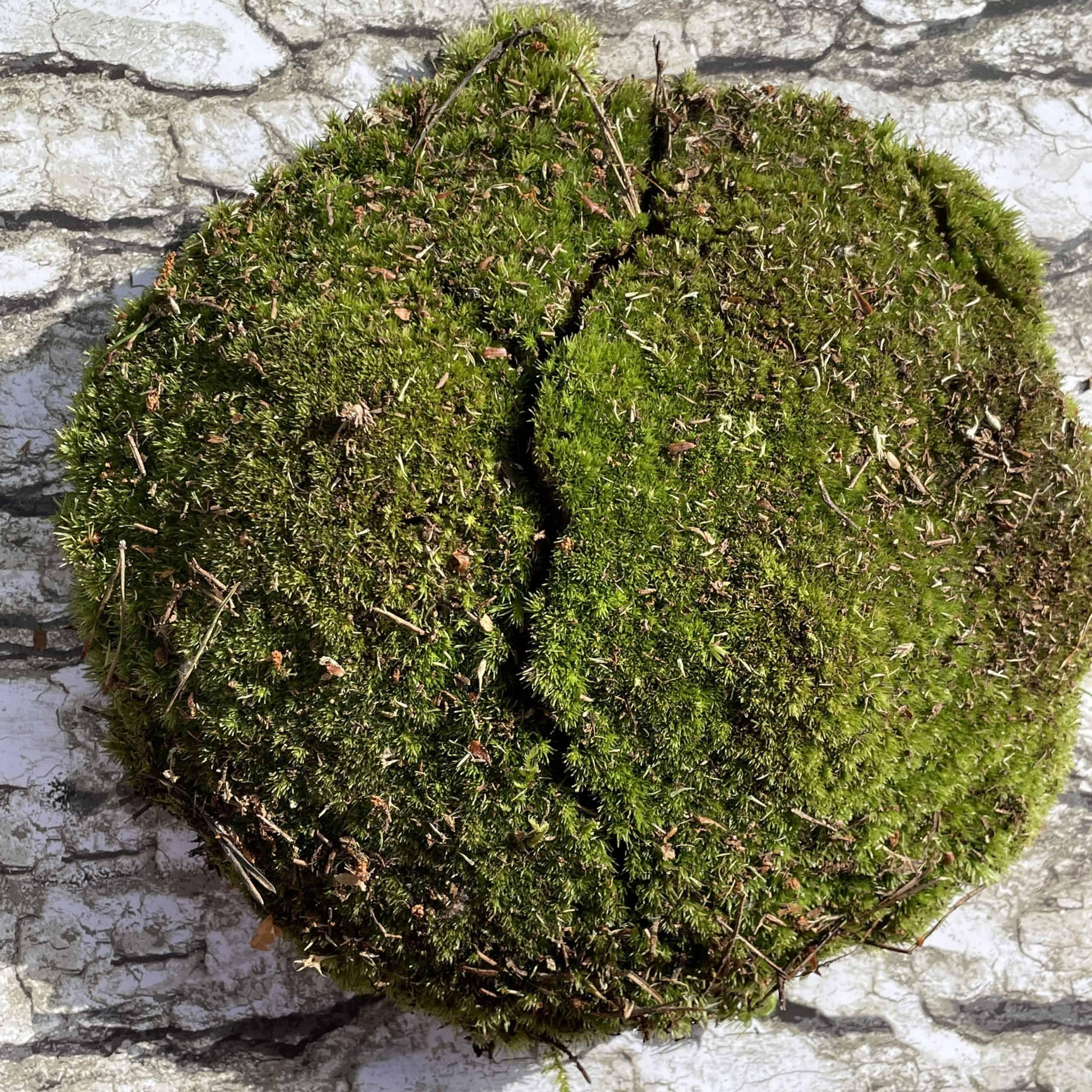 Fresh live cushion bun moss Fresh Moss bun moss 2