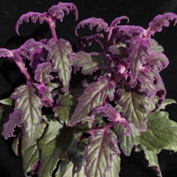 Purple passion Gynura Aurantiaca 12cm Houseplants 12cm pot