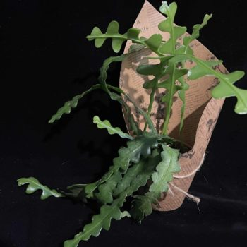 Fishbone Cactus Epiphyllum Anguliger in 10cm pot Houseplants 10cm plant