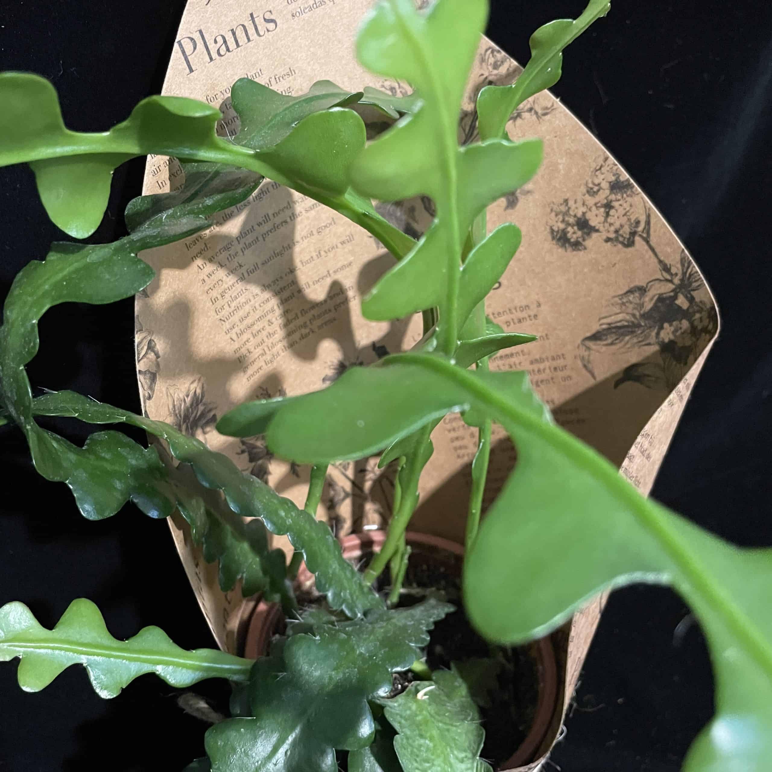 Fishbone Cactus Epiphyllum Anguliger in 10cm pot Houseplants 10cm plant 2