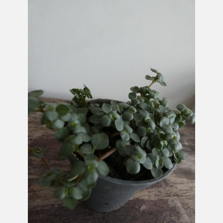 Pilea Glauca Greysy 'Silver Sparkle' 6cm pot