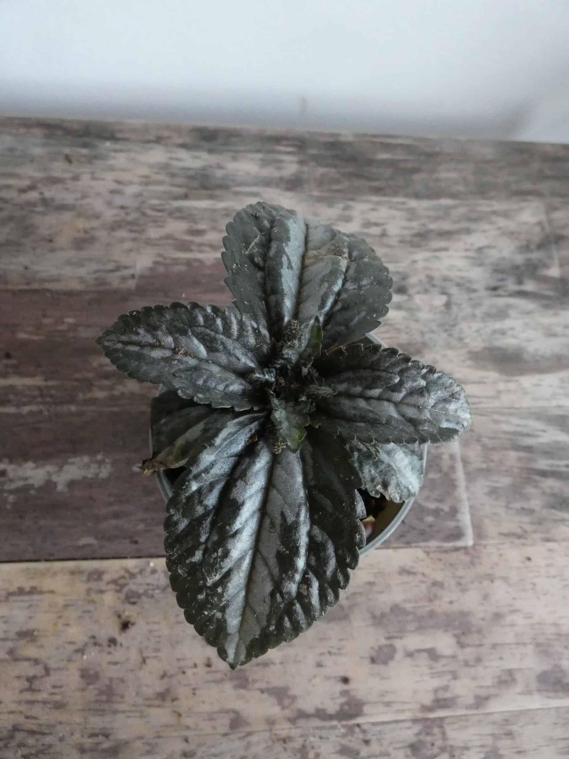 Pilea Spruceana 'Silver Tree' 6cm Pot