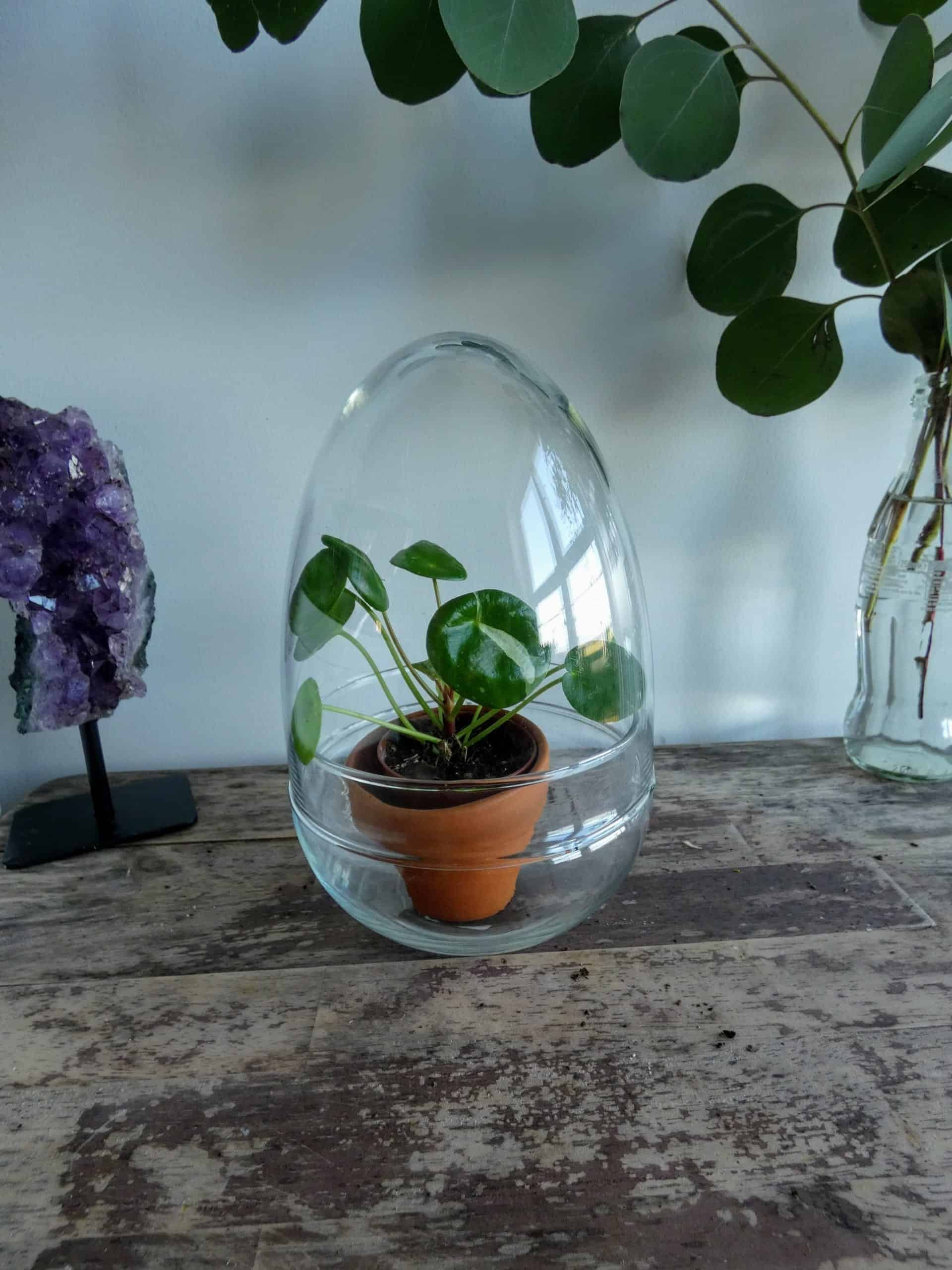Glass Egg Cloche   Dome Jar   Growing Environment and Display