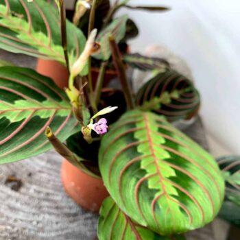 Prayer plant Maranta leuconeura Fascinator 12cm pot Houseplants