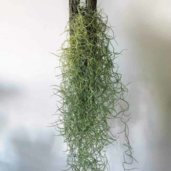 Spanish Moss air plant | Tillandsia usneoides Hanging & Trailing airplant