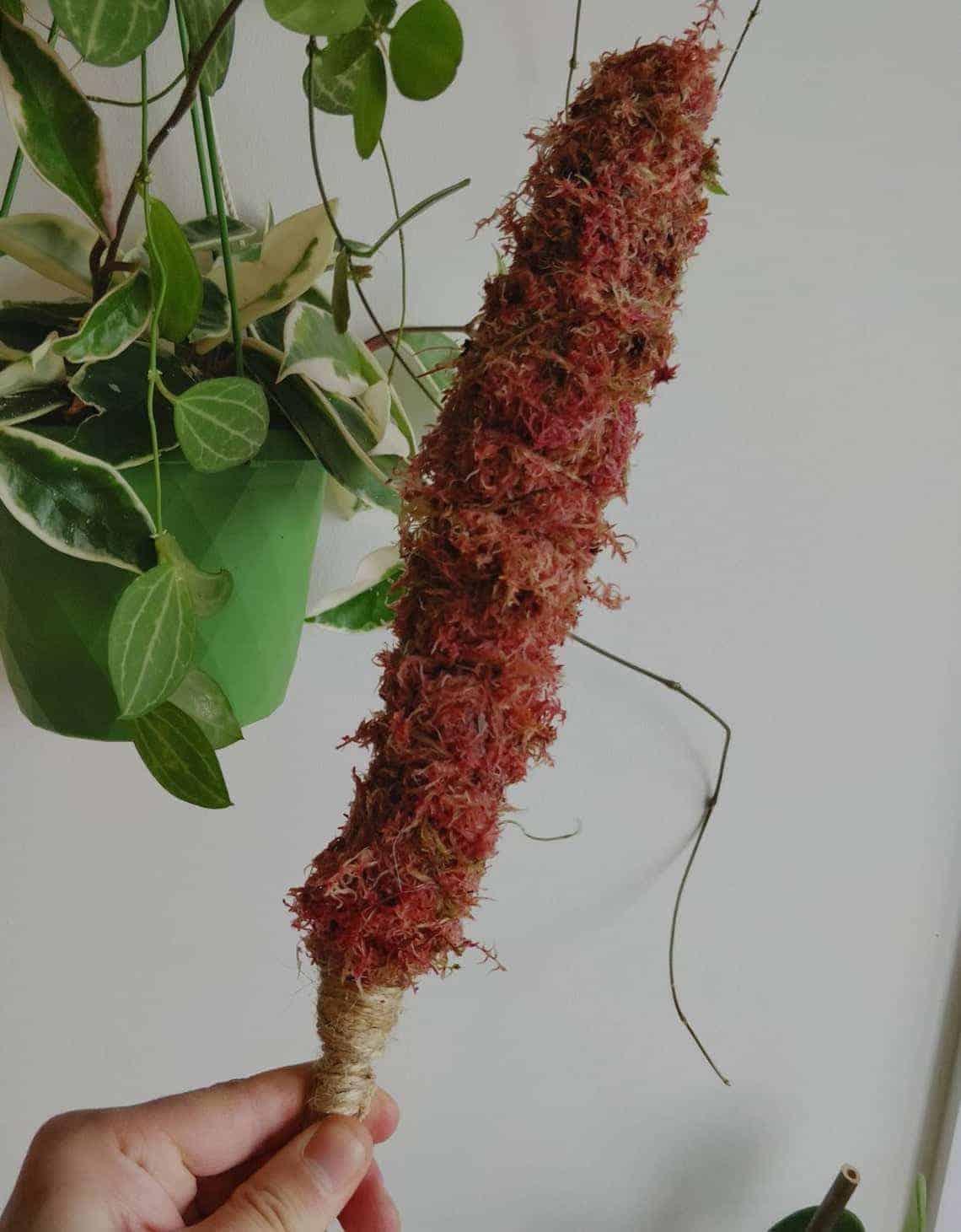 MINI Natural Moss pole 30cm
