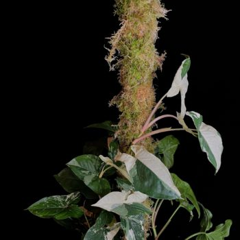 CLASSIC Green Moss Pole Made with Moss moss pole 2