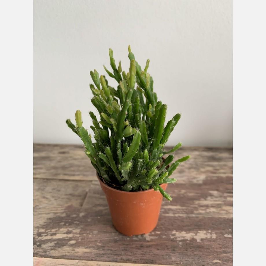 Rhipsalis Ewaldiana (Mistletoe Cactus) 5.5cm