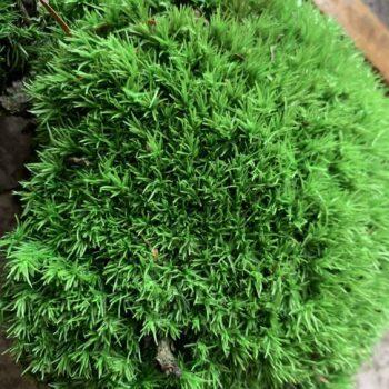 Preserved Green Cushion Bun Moss Made with Moss bun moss 4