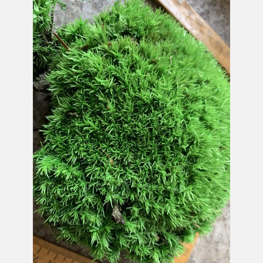 Preserved Green Cushion Bun Moss Made with Moss bun moss 2