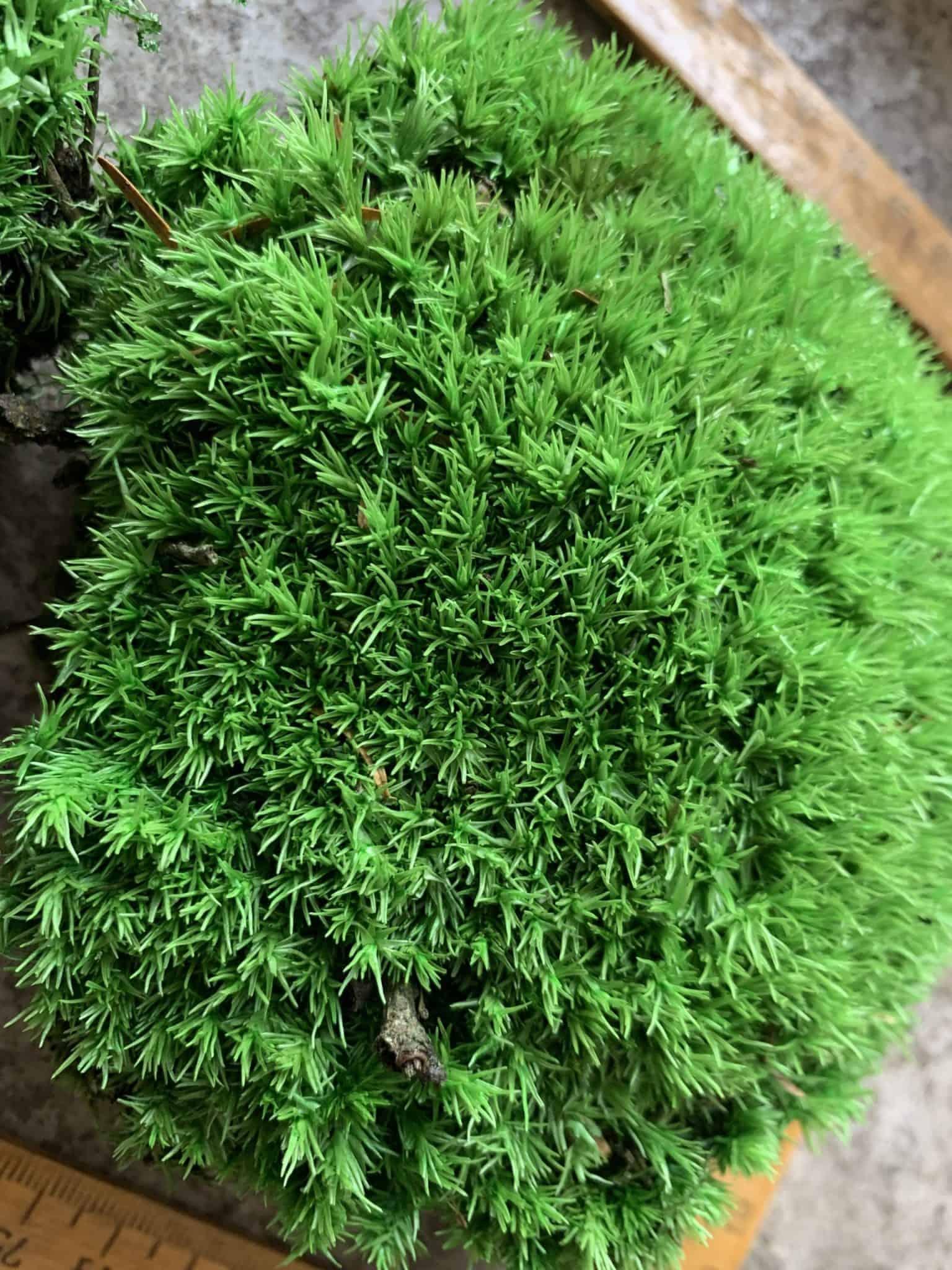Preserved Green Cushion Bun Moss