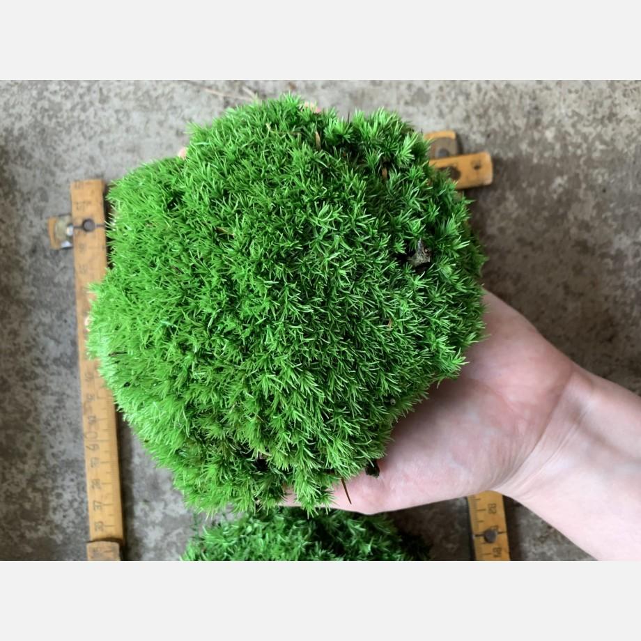 Preserved Green Cushion Bun Moss Made with Moss bun moss 3