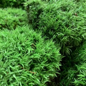 Preserved Green Cushion Bun Moss Made with Moss