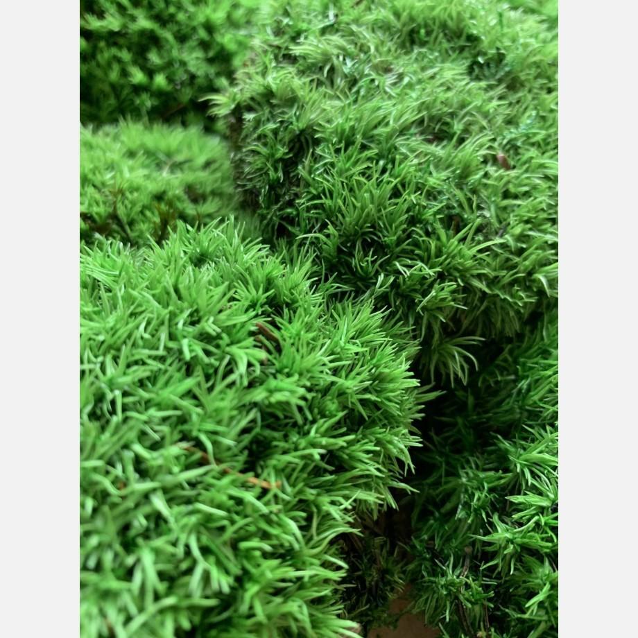 Preserved Green Cushion Bun Moss Made with Moss bun moss