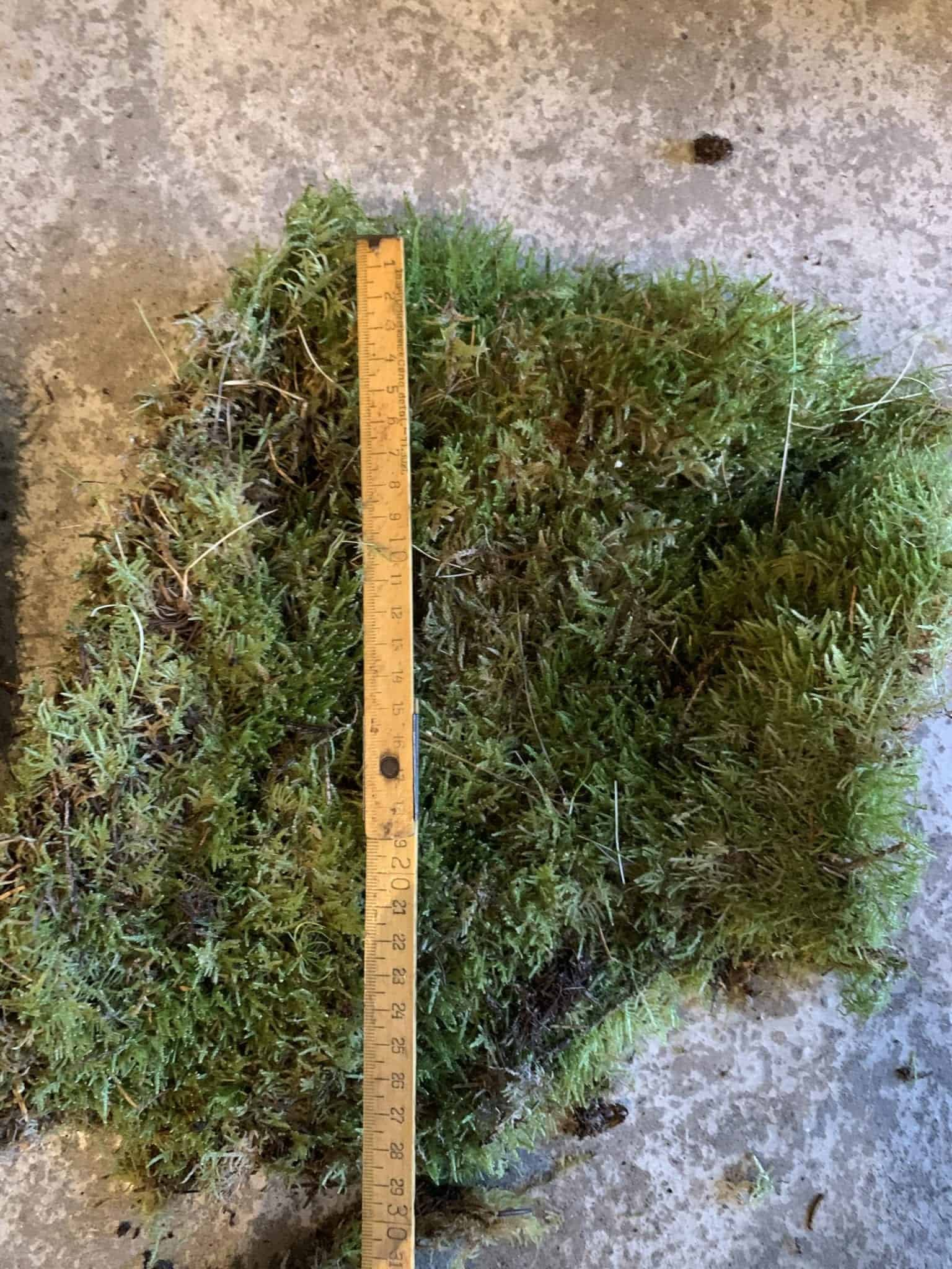 Fresh Live Sheet Carpet Moss - Large