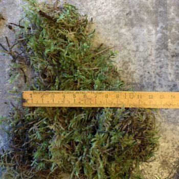 Fresh Live Sheet Carpet Moss Fresh Moss carpet moss 2