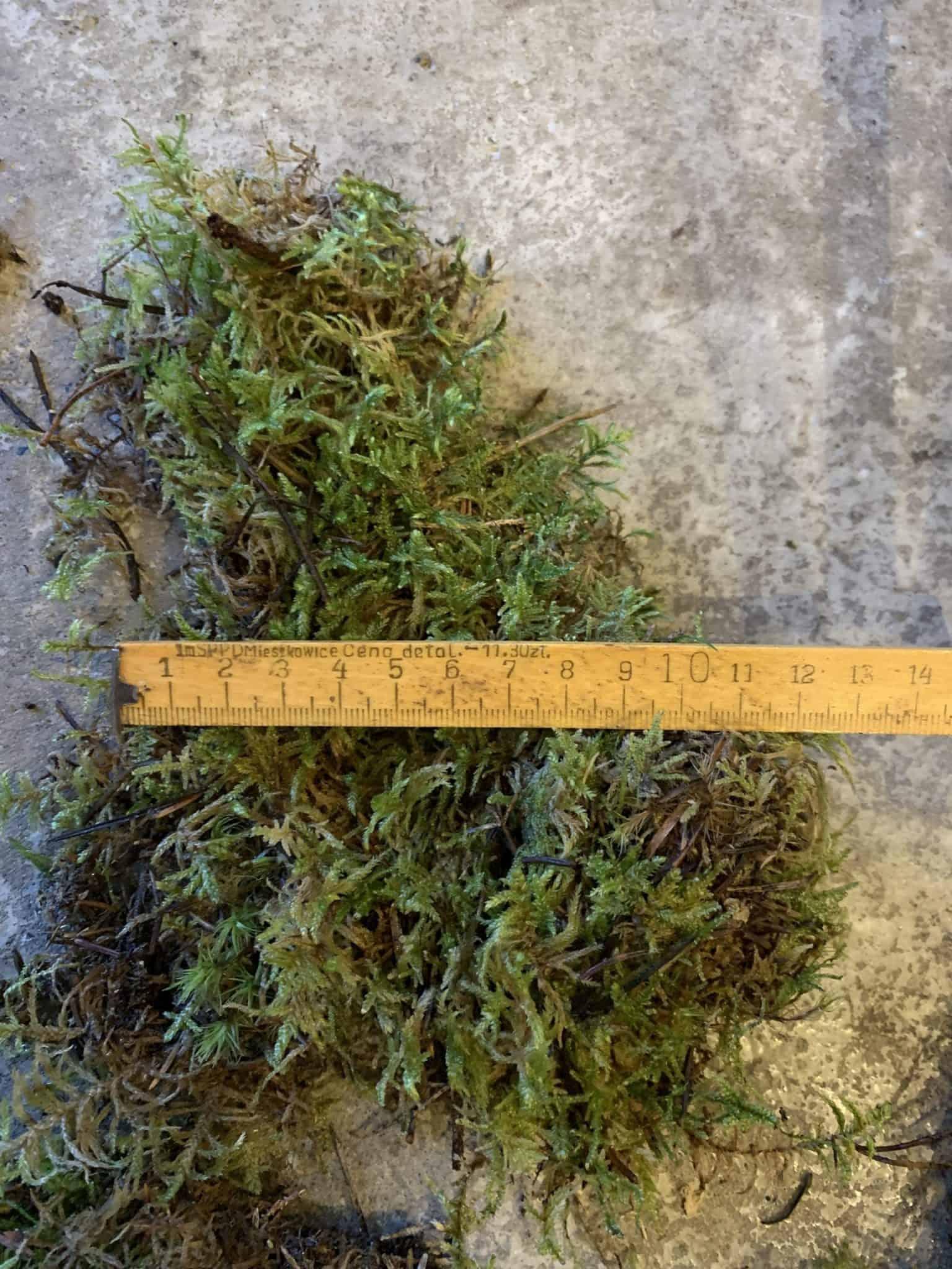 Fresh Live Sheet Carpet Moss - Small